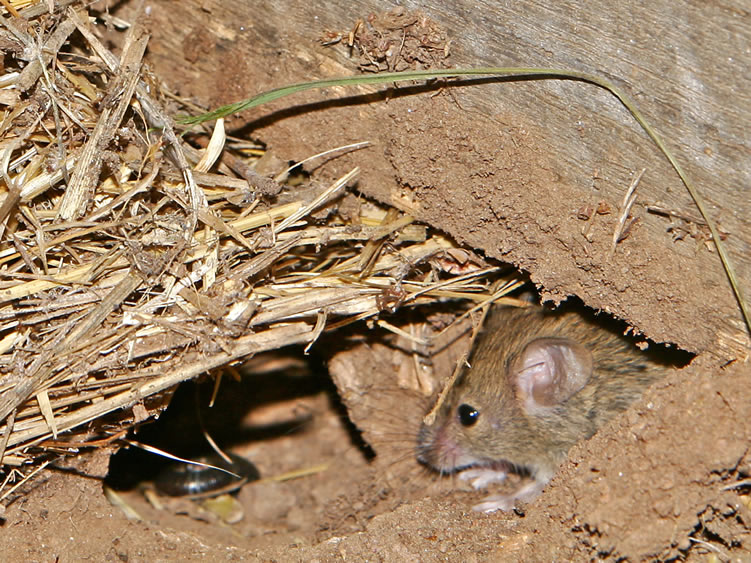 Mouse burrowing out of basement